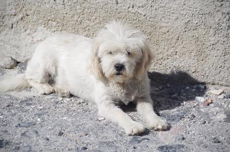 サントリーニ島の犬.JPG