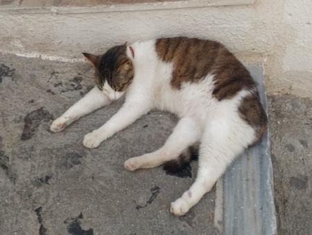 サントリーニ島の猫.jpg