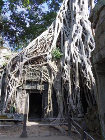 タ・プローム ガジュマルの樹木