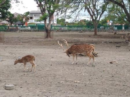 プランバナン遺跡公園内の鹿.jpg