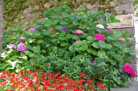 ラヴェッロに咲く紫陽花.JPG