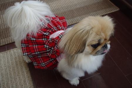 明洞の露店で買ったバーバリー風犬服 (1).JPG