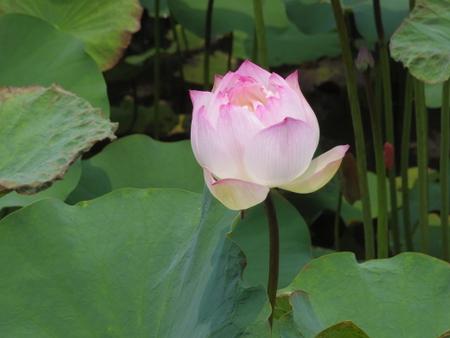 蓮池潭の蓮の花